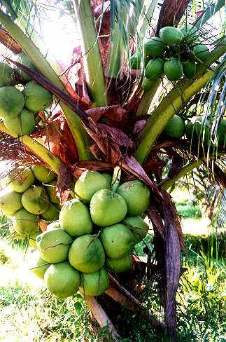 kelapa berbuah1 chepa